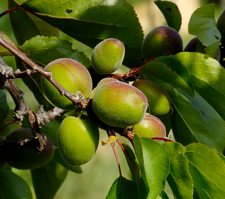 Green Apricot Fruit